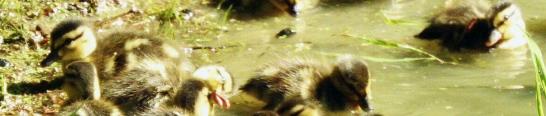 Ducks, Baby May 2021 (8)